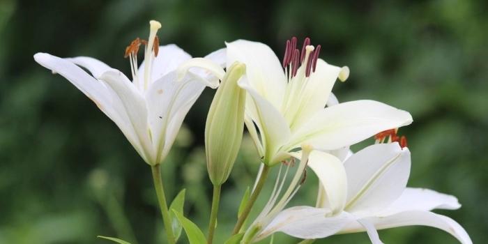 Hoa Bách Hợp sở hữu phải là hoa Ly không?